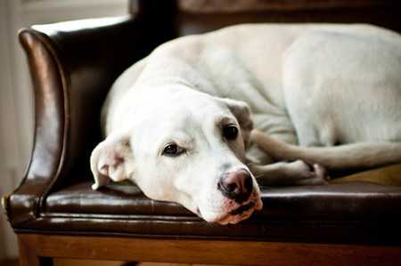 Causes of Anemia in Dogs-3