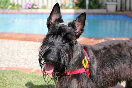Scottish Terrier-2