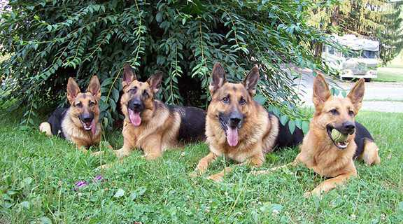 german shepherd-1-1