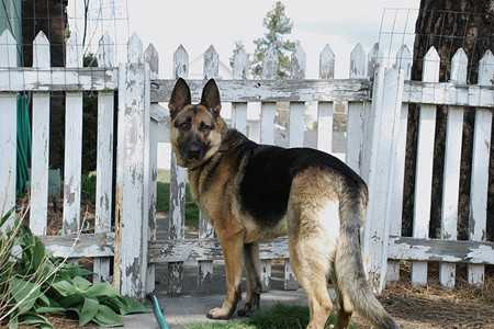 german shepherd-3
