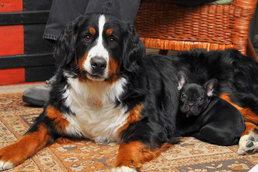 bernese mountain dog-1
