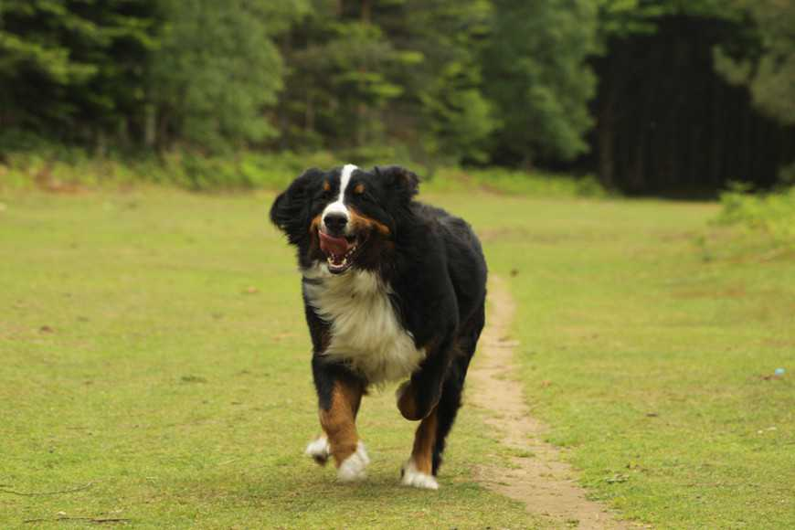 bernese mountain dog-3
