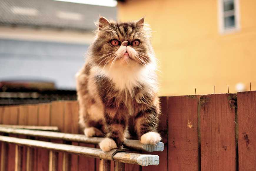 FIV or Feline AIDS in Cats-4